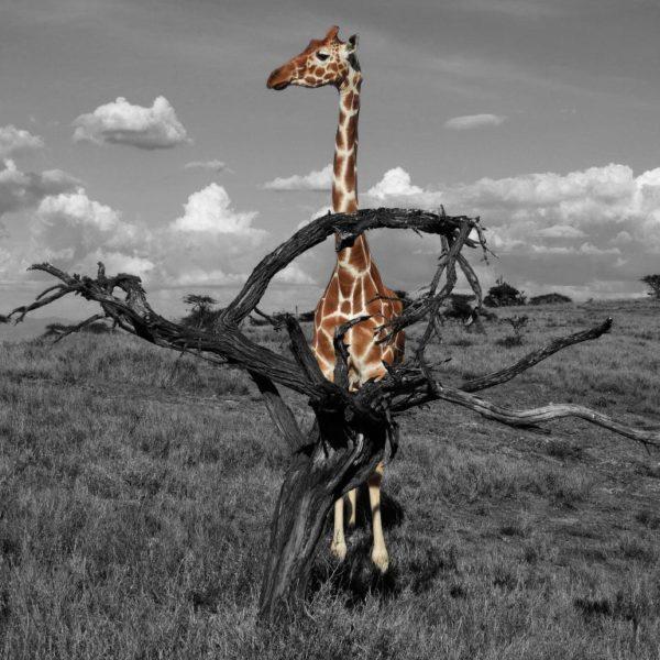 """Билет на спектакль """"Королевский жираф"""""""